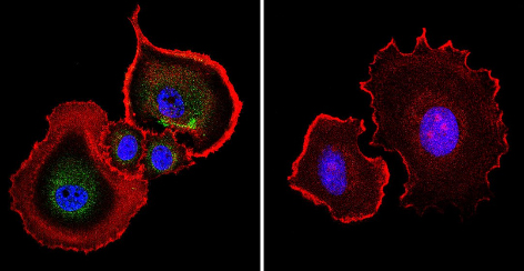 Immunocytochemistry/ Immunofluorescence - Anti-Aryl hydrocarbon Receptor antibody [RPT1] (ab2770)