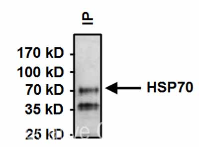 Immunoprecipitation - Anti-Hsc70 antibody [13D3] (ab2788)