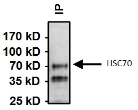 Immunoprecipitation - Anti-Hsc70 [13D3] antibody (ab2788)