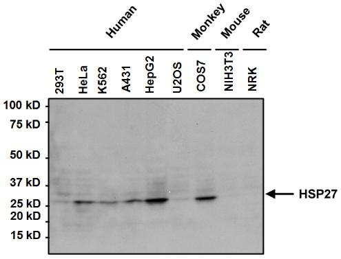 Western blot - Anti-Hsp27 [G3.1] antibody (ab2790)