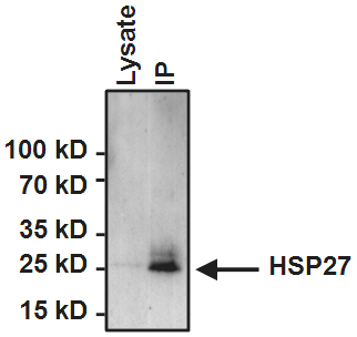 Immunoprecipitation - Anti-Hsp27 [G3.1] antibody (ab2790)