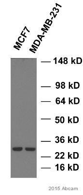 Western blot - Anti-Hsp27 antibody [G3.1] (ab2790)