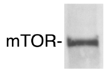 Western blot - Anti-mTOR antibody (ab2833)