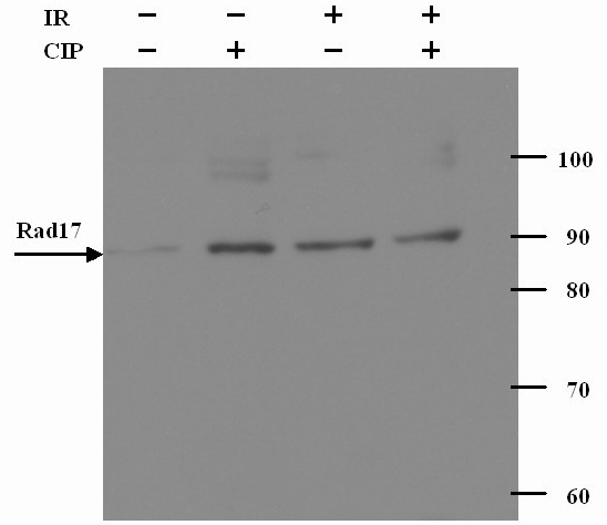 Western blot - Anti-Rad17 antibody (ab2847)