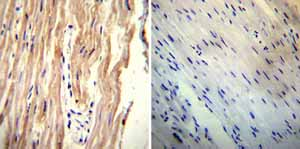 Immunohistochemistry (Formalin/PFA-fixed paraffin-embedded sections) - Anti-NCX1 antibody [C2C12] (ab2869)