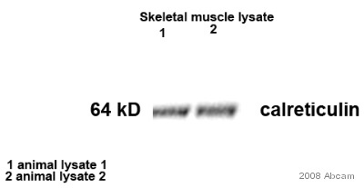 Western blot - Calreticulin antibody (ab2907)
