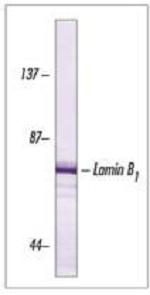 Western blot - Anti-Lamin B1 antibody [ZL-5] (ab20396)