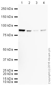 Western blot - Anti-Furin antibody [EPR14674] (HRP) (ab202544)
