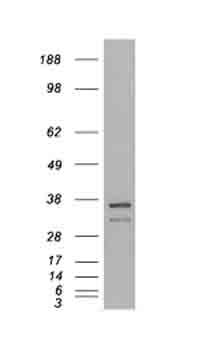 Western blot - Anti-Pirin antibody (ab21202)