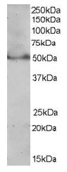 Western blot - Anti-PPAR delta antibody (ab21209)
