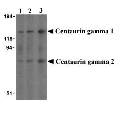 Western blot - Anti-Centaurin gamma 1 antibody (ab21271)