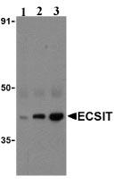 Western blot - Anti-ECSIT antibody (ab21288)