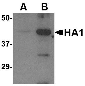 Western blot - Anti-Avian Influenza A Hemagglutinin antibody (ab21297)