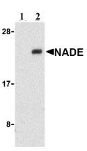 Western blot - Anti-NADE antibody (ab21303)