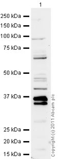 Western blot - Anti-Shugoshin antibody (ab21633)