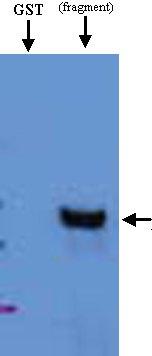 Western blot - Anti-HRP2 antibody (ab21792)