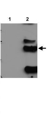 Western blot - Anti-CPSF30 antibody (ab21865)
