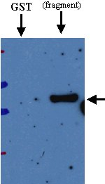 Western blot - Anti-Deep Orange antibody (ab21872)