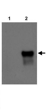 Western blot - Anti-NR2F2 antibody (ab21888)