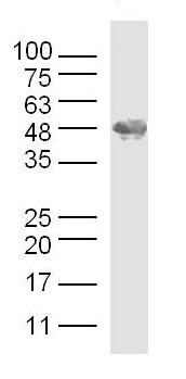 Western blot - Anti-Osteopontin antibody (ab216406)