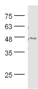 Western blot - Anti-LEF1 antibody (ab217378)