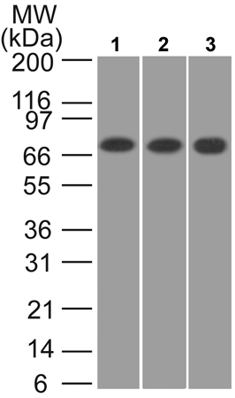 Western blot - Anti-CaMKII beta antibody (ab22131)