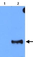 Western blot - Anti-Odorant Receptor 42a antibody (ab22177)