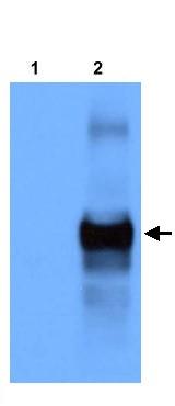 Western blot - Anti-MEC4 antibody (ab22184)