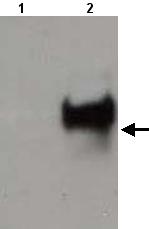 Western blot - Anti-ASF1A antibody (ab22231)