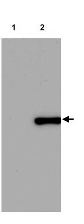 Western blot - Anti-POLIII antibody (ab22236)