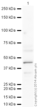 Western blot - Anti-MASPIN antibody (ab22354)