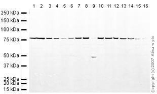 Western blot - Anti-Calnexin antibody (ab22595)