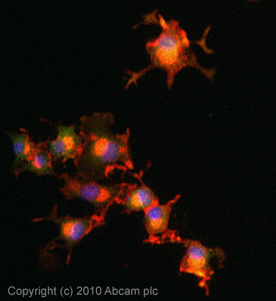 Immunocytochemistry/ Immunofluorescence - Anti-Secretogranin V antibody (ab22699)