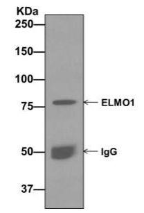 Immunoprecipitation - Anti-ELMO1 antibody [EPR12919] - BSA and Azide free (ab222227)