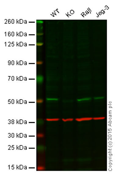 Western blot - Anti-APG5L/ATG5 antibody [EPR4797] - BSA and Azide free (ab227084)