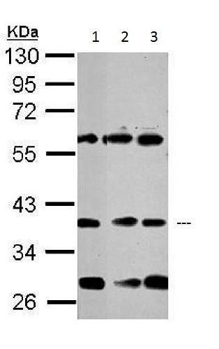 Western blot - Anti-NeuroD1 antibody - N-terminal (ab227968)