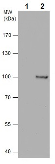 Immunoprecipitation - Anti-Aconitase 2 antibody (ab228923)