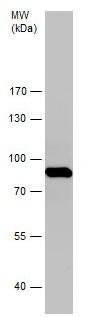 Western blot - Anti-Aconitase 2 antibody (ab228923)