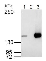 Immunoprecipitation - Anti-RFC1 antibody - C-terminal (ab229229)