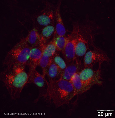 Immunocytochemistry/ Immunofluorescence - Anti-TBR2 / Eomes antibody - ChIP Grade (ab23345)