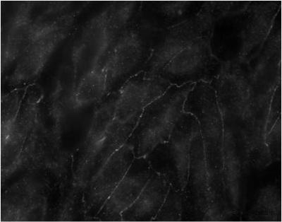 Immunocytochemistry/ Immunofluorescence - Anti-Claudin 23 antibody (ab23355)