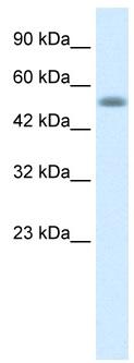 Western blot - Anti-Nucleobindin 1 antibody (ab23360)