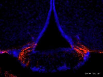 Immunohistochemistry - Free Floating - Anti-ALDH1A1 antibody - Neuronal Marker (ab23375)