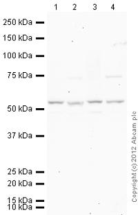 Western blot - Anti-Arc antibody (ab23382)
