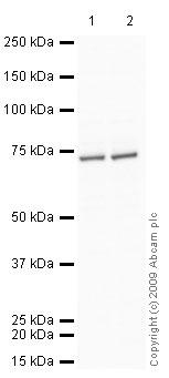Western blot - Anti-Leukotriene A4 hydrolase antibody (ab23677)