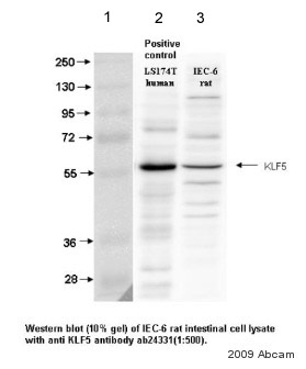 Western blot - Anti-KLF5 antibody (ab24331)