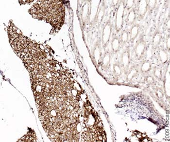 Immunohistochemistry (Formalin/PFA-fixed paraffin-embedded sections) - Anti-Monoacylglycerol Lipase antibody (ab24701)