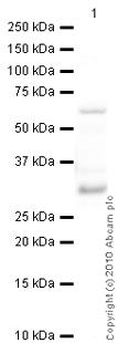 Western blot - Anti-Calbindin antibody (ab25085)