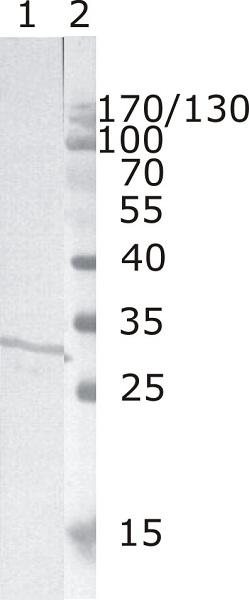 Western blot - Anti-HIV1 Nef antibody [3F2] (ab25866)