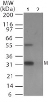 Western blot - Anti-Avian Influenza Matrix Protein I antibody (ab25919)